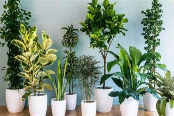 صورة التخلص من الناموس , نباتات فعاله للتخلص من الناموس