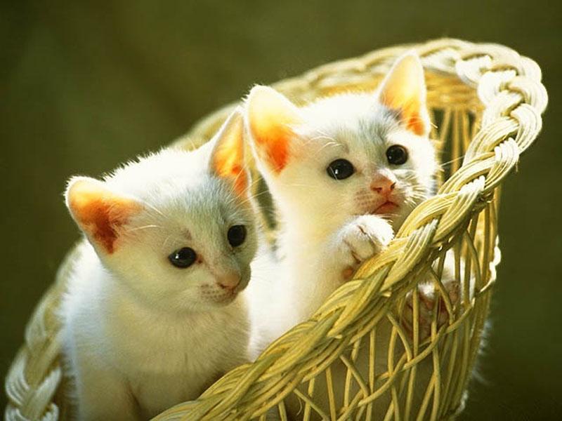 صورة مدة حمل القطط , حيوانات منزليه اليفه ومحببه