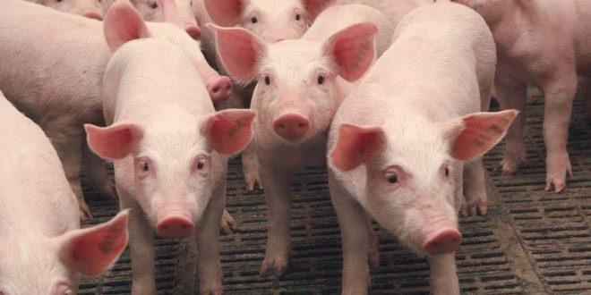 صورة لماذا حرم لحم الخنزير , من الاشياء المحرمه جدا