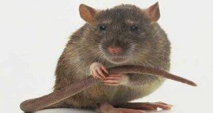 التخلص من الجرذان في المنزل , طريقه فعاله للقضاء علي الفئران