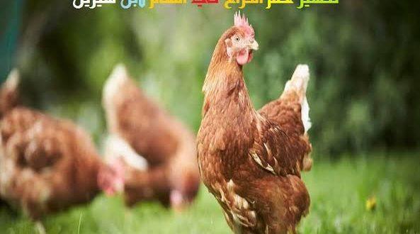 صورة تفسير الدجاج في الحلم , دلالتها خير و رزق كثير