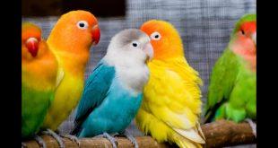 صورة صور عصافير كوكتيل , سحر الوان واصوات العصافير