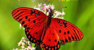 تفسير رؤية الفراشة في المنام , تاويل ابن شاهين
