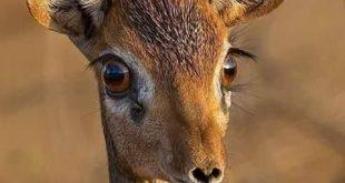 صورة صور عيون الغزال , تغزل بجمالها الشعراء