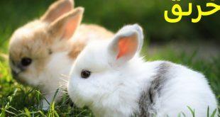 صورة ما اسم صغير الارنب ، عجائب عن الأرنب