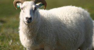 صورة صور خروف العيد ، عبارات تهنئة بقدوم عيد الأضحى