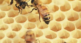 صورة النحلة لها كثير من الفوائد , من اين تخرج النحلة العسل
